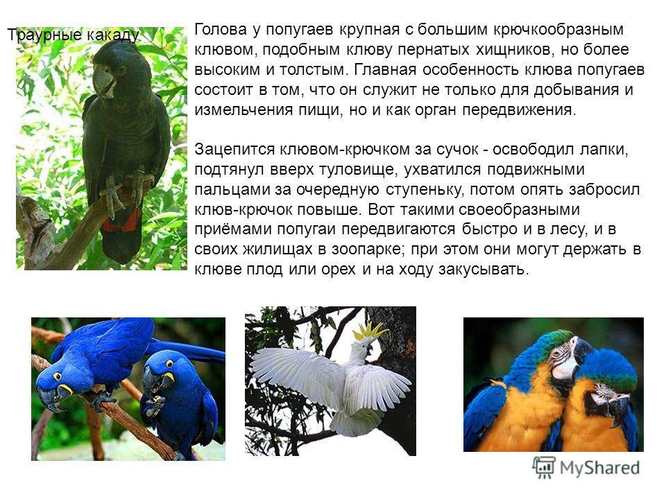 Голова у попугаев крупная с большим крючкообразным клювом, подобным клюву пернатых хищников, но более высоким и толстым. Главная особенность клюва попугаев состоит в том, что он служит не только для добывания и измельчения пищи, но и как орган передв