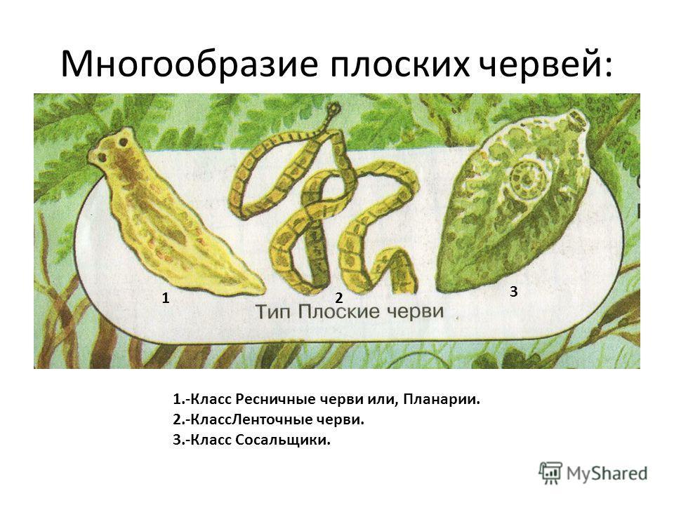 Многообразие плоских червей: 1.-Класс Ресничные черви или, Планарии. 2.-КлассЛенточные черви. 3.-Класс Сосальщики. 12 3