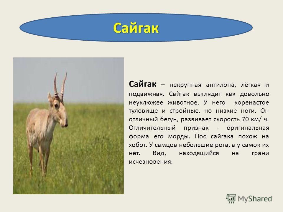 Сайгак Сайгак – некрупная антилопа, лёгкая и подвижная. Сайгак выглядит как довольно неуклюжее животное. У него коренастое туловище и стройные, но низкие ноги. Он отличный бегун, развивает скорость 70 км/ ч. Отличительный признак - оригинальная форма