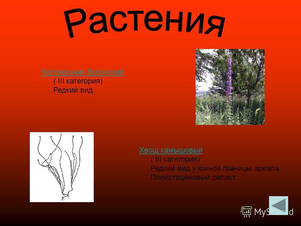 Колокольчик болонский Колокольчик болонский ( III категория) Редкий вид. Хвощ камышовый Хвощ камышовый ( III категория) Редкий вид у южной границы ареала. Плейстоценовый реликт.