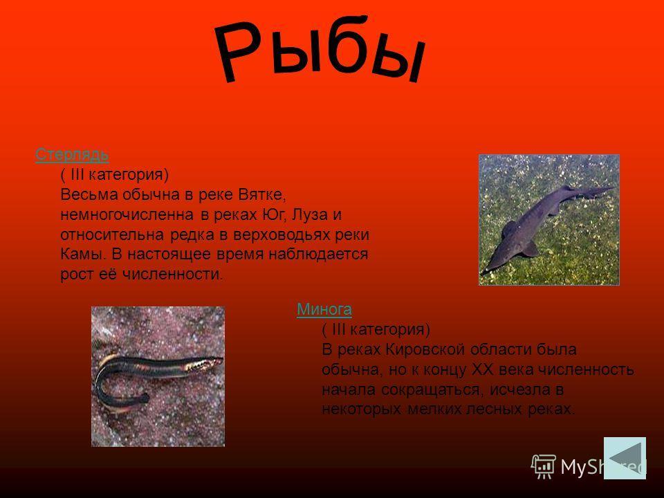 Стерлядь Стерлядь ( III категория) Весьма обычна в реке Вятке, немногочисленна в реках Юг, Луза и относительна редка в верховодьях реки Камы. В настоящее время наблюдается рост её численности. Минога Минога ( III категория) В реках Кировской области