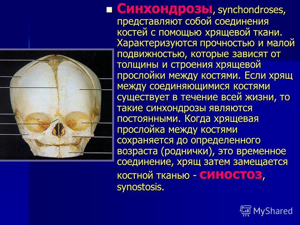 Синхондрозы, synchondroses, представляют собой соединения костей с помощью хрящевой ткани. Характеризуются прочностью и малой подвижностью, которые зависят от толщины и строения хрящевой прослойки между костями. Если хрящ между соединяющимися костями