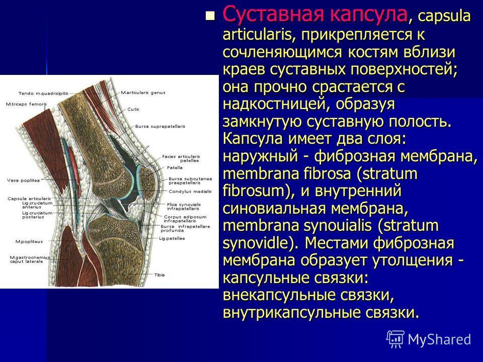 Суставная капсула, capsula articulаris, прикрепляется к сочленяющимся костям вблизи краев суставных поверхностей; она прочно срастается с надкостницей, образуя замкнутую суставную полость. Капсула имеет два слоя: наружный - фиброзная мембрана, membra