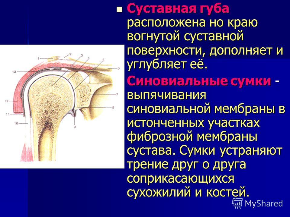 Мембрана синовиальная фото