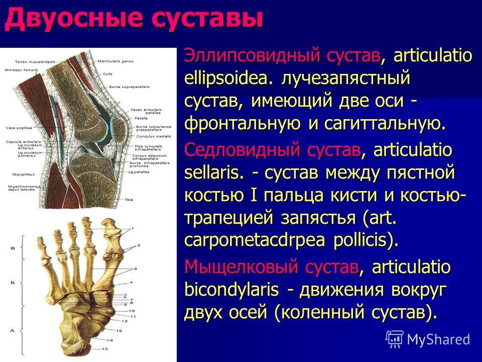 Двуосные суставы Эллипсовидный сустав, articulatio ellipsoidea. лучезапястный сустав, имеющий две оси - фронтальную и сагиттальную. Эллипсовидный сустав, articulatio ellipsoidea. лучезапястный сустав, имеющий две оси - фронтальную и сагиттальную. Сед
