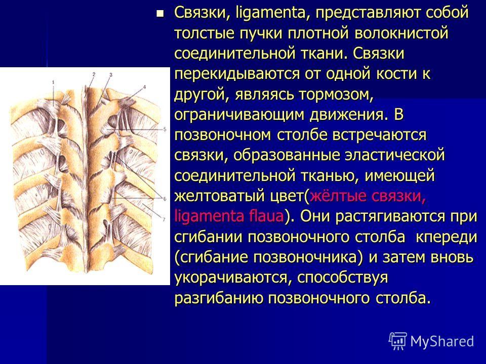 Связки, ligamenta, представляют собой толстые пучки плотной волокнистой соединительной ткани. Связки перекидываются от одной кости к другой, являясь тормозом, ограничивающим движения. В позвоночном столбе встречаются связки, образованные эластической