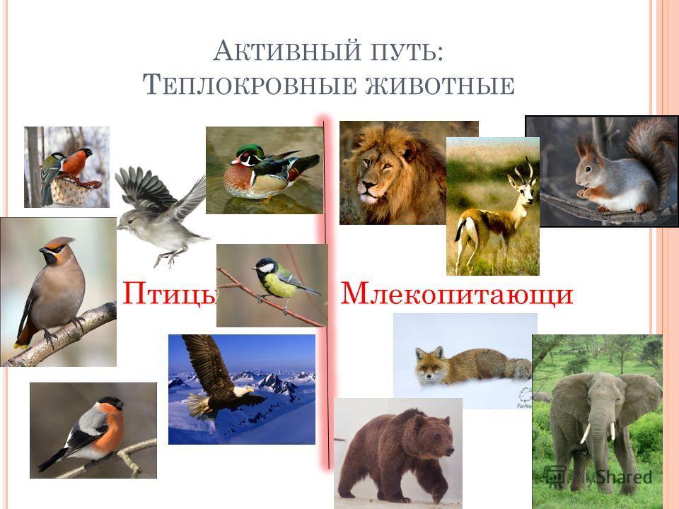 А КТИВНЫЙ ПУТЬ : Т ЕПЛОКРОВНЫЕ ЖИВОТНЫЕ ПтицыМлекопитающи е