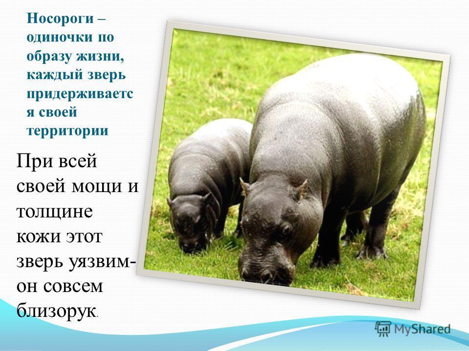 Носороги – одиночки по образу жизни, каждый зверь придерживаетс я своей территории При всей своей мощи и толщине кожи этот зверь уязвим- он совсем близорук.