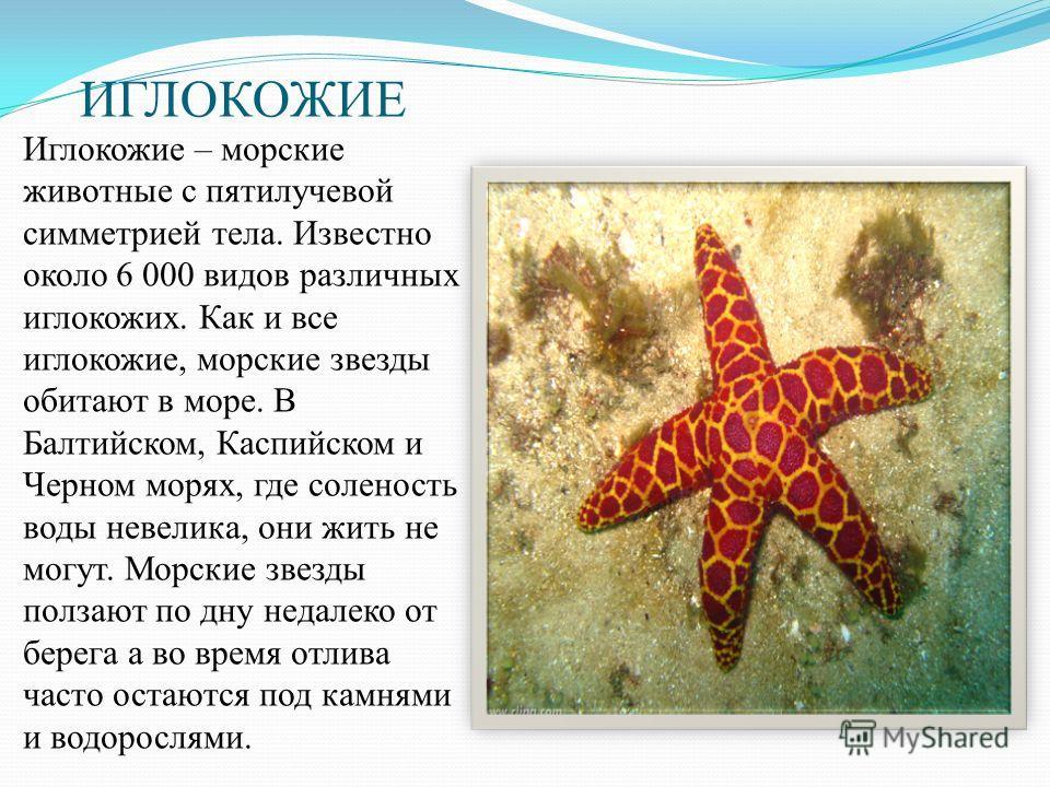 ИГЛОКОЖИЕ Иглокожие – морские животные с пятилучевой симметрией тела. Известно около 6 000 видов различных иглокожих. Как и все иглокожие, морские звезды обитают в море. В Балтийском, Каспийском и Черном морях, где соленость воды невелика, они жить н