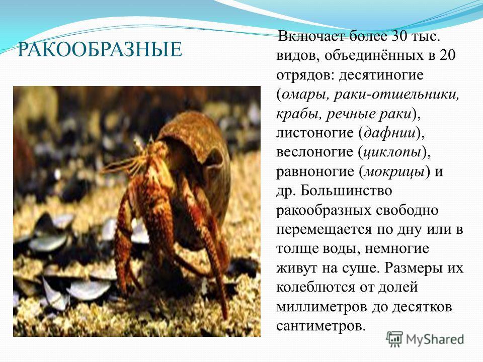 РАКООБРАЗНЫЕ Включает более 30 тыс. видов, объединённых в 20 отрядов: десятиногие (омары, раки-отшельники, крабы, речные раки), листоногие (дафнии), веслоногие (циклопы), равноногие (мокрицы) и др. Большинство ракообразных свободно перемещается по дн