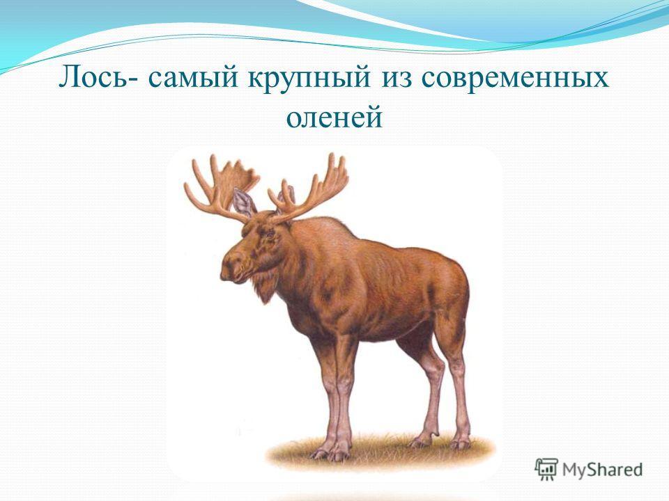 Лось- самый крупный из современных оленей