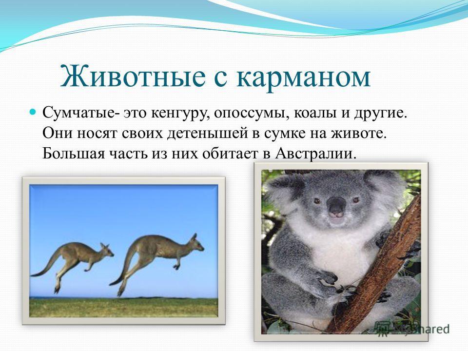 Животные с карманом Сумчатые- это кенгуру, опоссумы, коалы и другие. Они носят своих детенышей в сумке на животе. Большая часть из них обитает в Австралии.