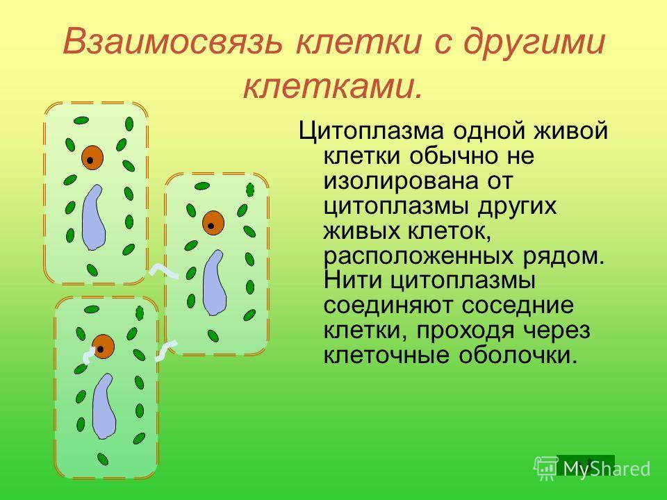 Взаимосвязь клетки с другими клетками. Цитоплазма одной живой клетки обычно не изолирована от цитоплазмы других живых клеток, расположенных рядом. Нити цитоплазмы соединяют соседние клетки, проходя через клеточные оболочки.