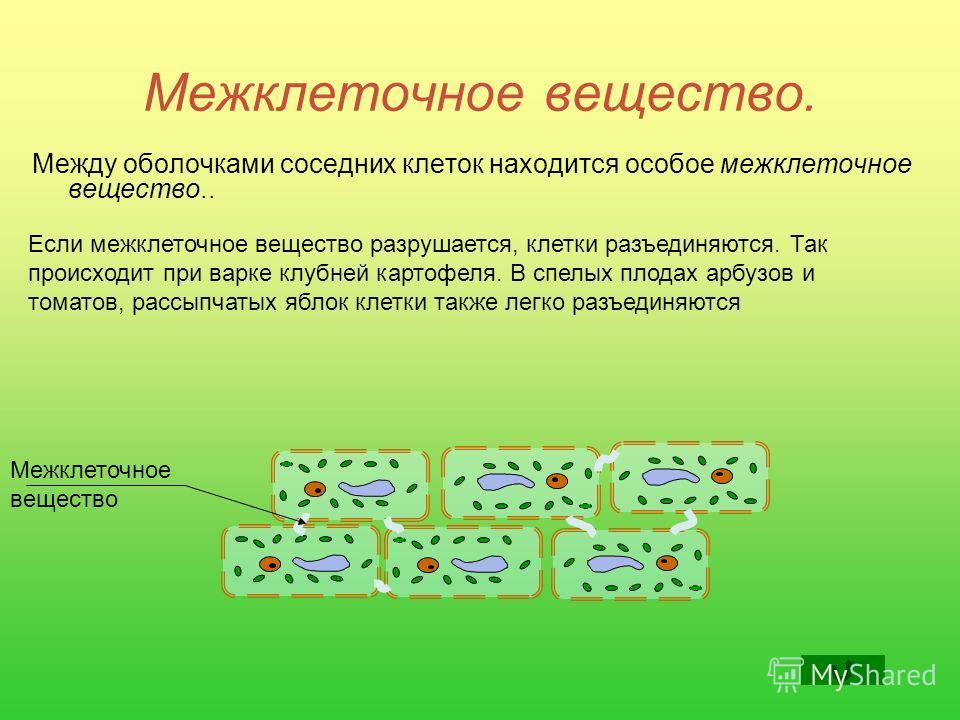 Межклеточное вещество. Между оболочками соседних клеток находится особое межклеточное вещество.. Если межклеточное вещество разрушается, клетки разъединяются. Так происходит при варке клубней картофеля. В спелых плодах арбузов и томатов, рассыпчатых