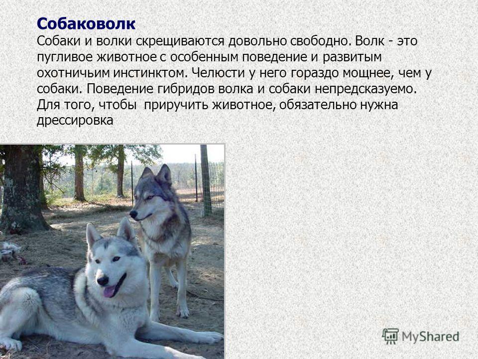 Собаковолк Собаки и волки скрещиваются довольно свободно. Волк - это пугливое животное с особенным поведение и развитым охотничьим инстинктом. Челюсти у него гораздо мощнее, чем у собаки. Поведение гибридов волка и собаки непредсказуемо. Для того, чт