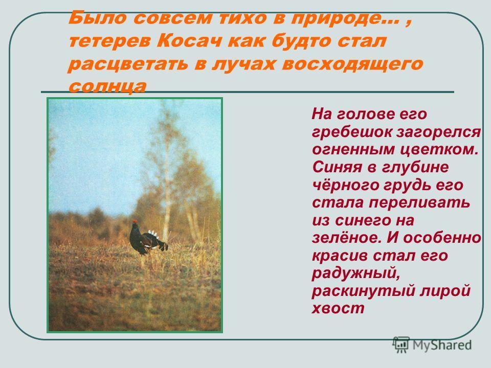 Было совсем тихо в природе…, тетерев Косач как будто стал расцветать в лучах восходящего солнца На голове его гребешок загорелся огненным цветком. Синяя в глубине чёрного грудь его стала переливать из синего на зелёное. И особенно красив стал его рад
