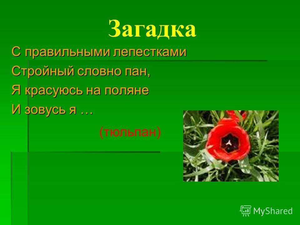 Загадка С правильными лепестками Стройный словно пан, Я красуюсь на поляне И зовусь я … (тюльпан)