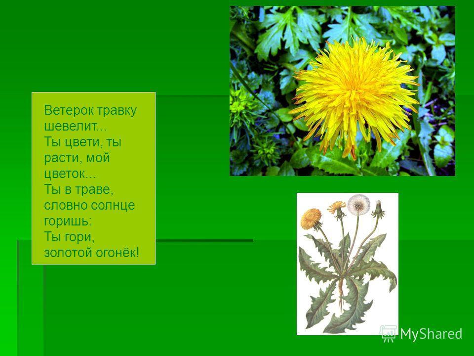 Ветерок травку шевелит... Ты цвети, ты расти, мой цветок... Ты в траве, словно солнце горишь: Ты гори, золотой огонёк!