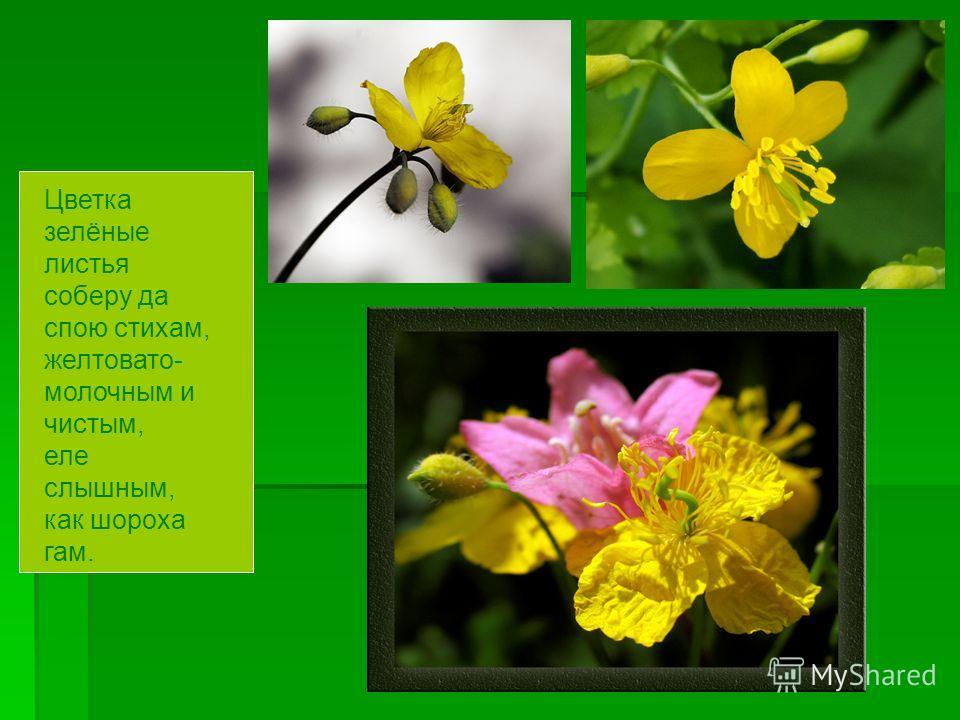 Цветка зелёные листья соберу да спою стихам, желтовато- молочным и чистым, еле слышным, как шороха гам.