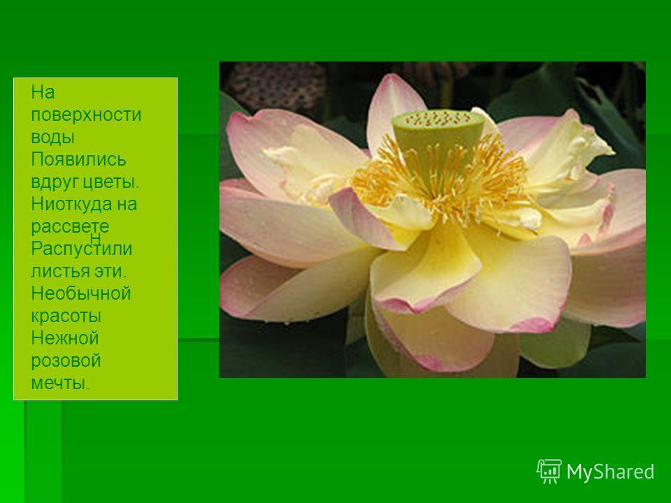 Н На поверхности воды Появились вдруг цветы. Ниоткуда на рассвете Распустили листья эти. Необычной красоты Нежной розовой мечты.