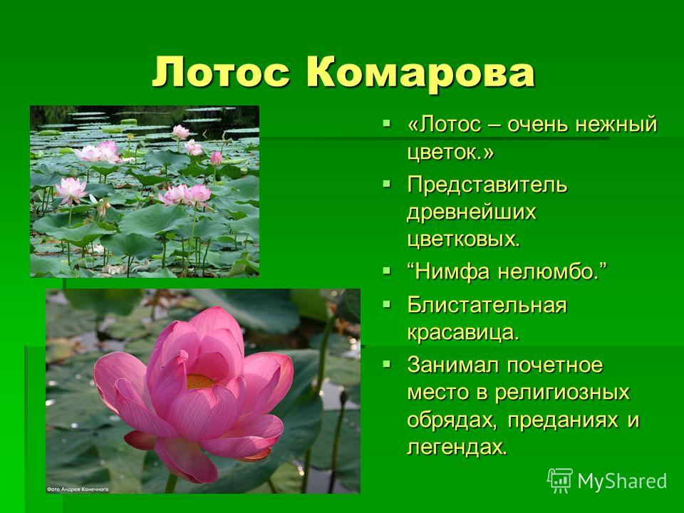 Лотос Комарова «Лотос – очень нежный цветок.» Представитель древнейших цветковых. Нимфа нелюмбо. Блистательная красавица. Занимал почетное место в религиозных обрядах, преданиях и легендах.