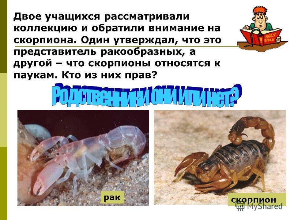 Двое учащихся рассматривали коллекцию и обратили внимание на скорпиона. Один утверждал, что это представитель ракообразных, а другой – что скорпионы относятся к паукам. Кто из них прав? рак скорпион