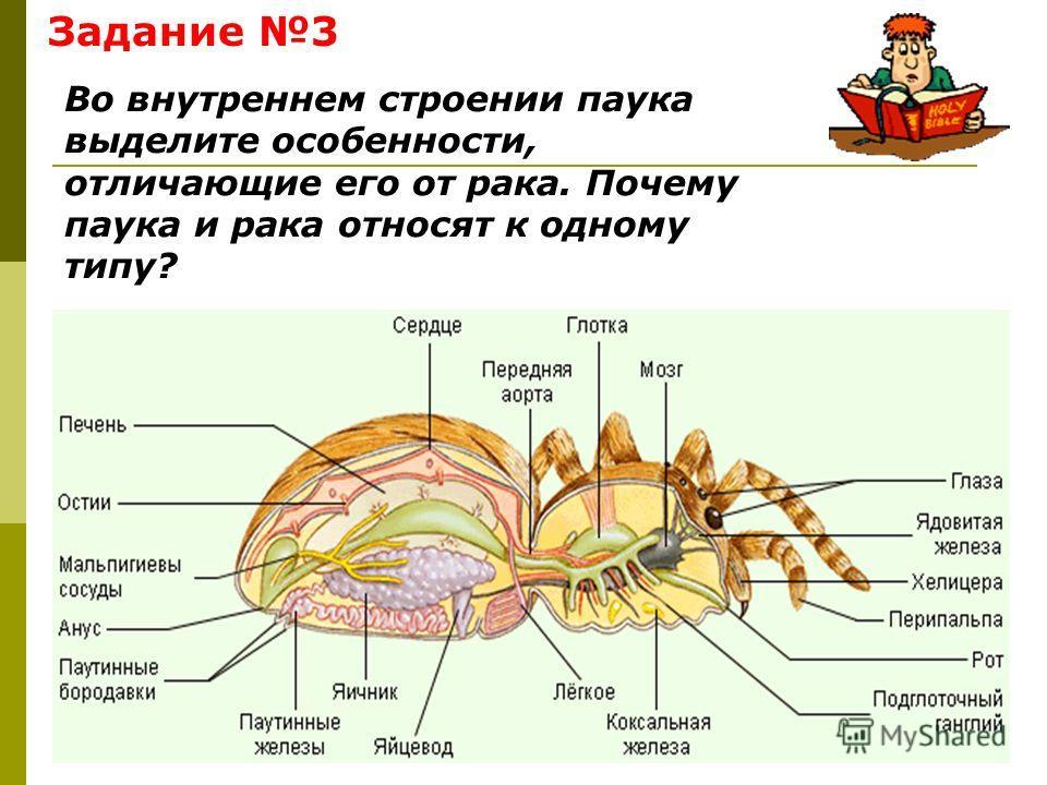 Задание 3 Во внутреннем строении паука выделите особенности, отличающие его от рака. Почему паука и рака относят к одному типу?