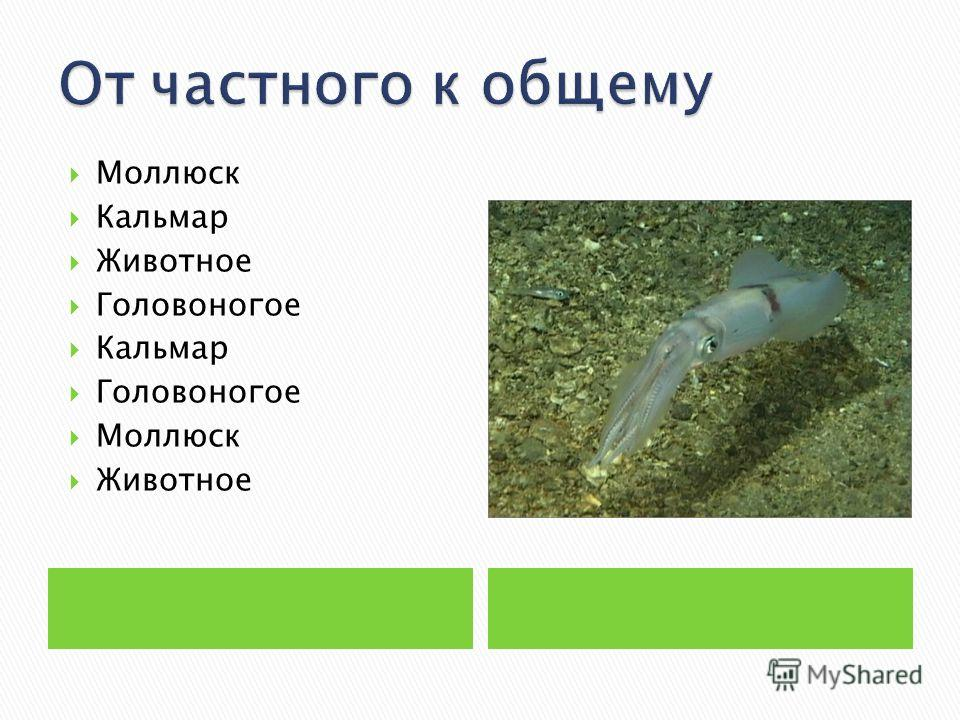 Моллюск Кальмар Животное Головоногое Кальмар Головоногое Моллюск Животное