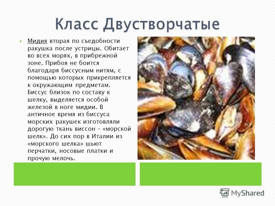 Мидия вторая по съедобности ракушка после устрицы. Обитает во всех морях, в прибрежной зоне. Прибоя не боится благодаря биссусным нитям, с помощью которых прикрепляется к окружающим предметам. Биссус близок по составу к шелку, выделяется особой желез