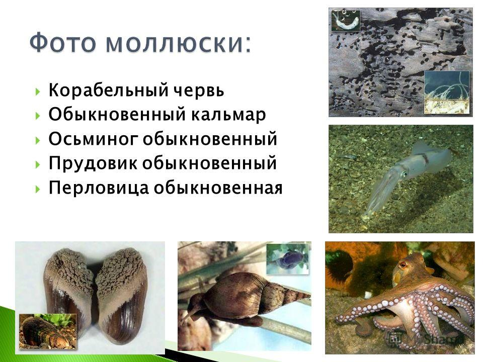 Корабельный червь Обыкновенный кальмар Осьминог обыкновенный Прудовик обыкновенный Перловица обыкновенная