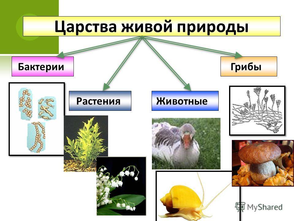 Царства живой природы БактерииГрибы РастенияЖивотные