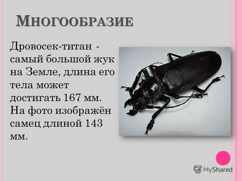 М НОГООБРАЗИЕ Дровосек-титан - самый большой жук на Земле, длина его тела может достигать 167 мм. На фото изображён самец длиной 143 мм.