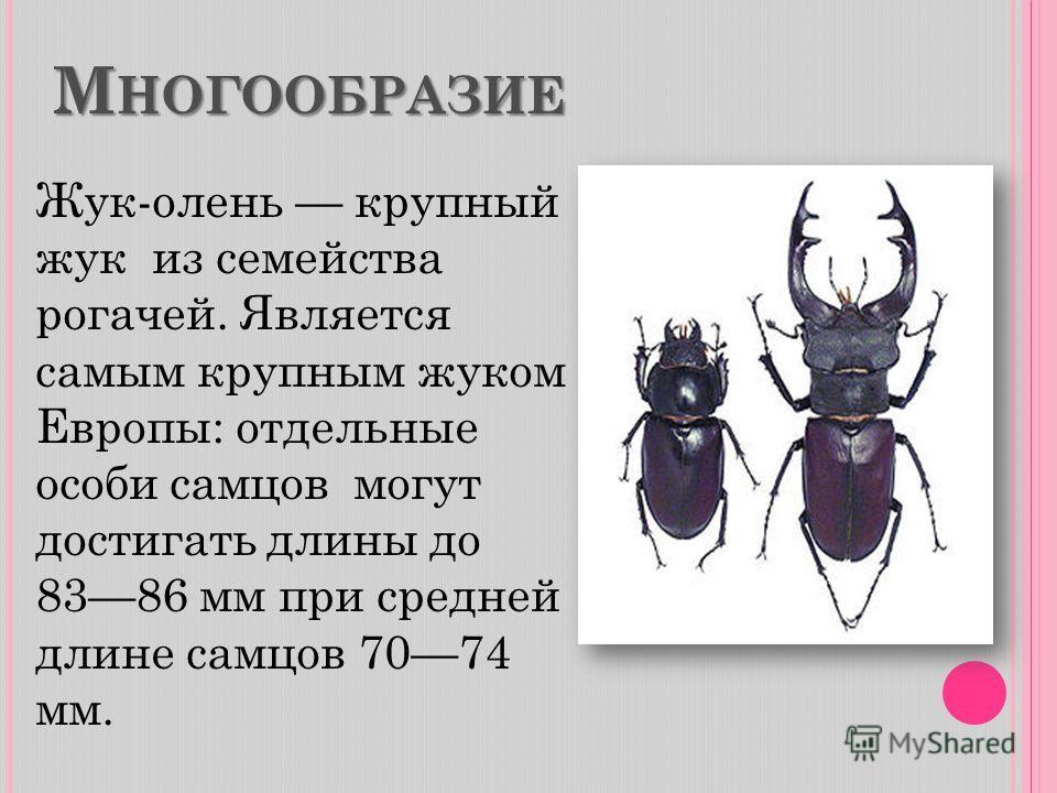 М НОГООБРАЗИЕ Жук-олень крупный жук из семейства рогачей. Является самым крупным жуком Европы: отдельные особи самцов могут достигать длины до 8386 мм при средней длине самцов 7074 мм.