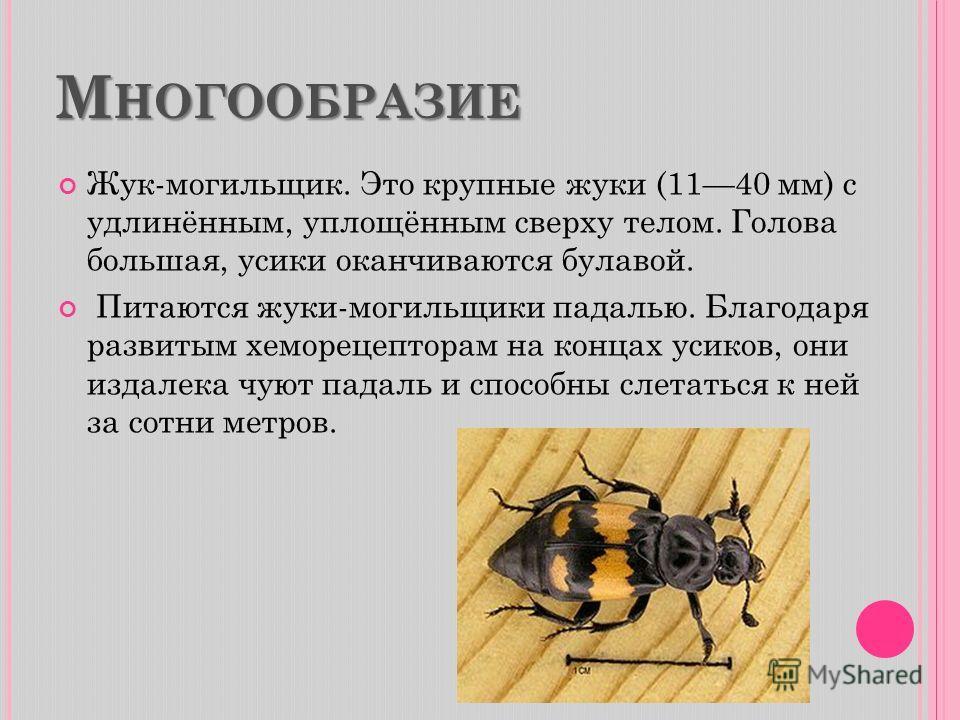 М НОГООБРАЗИЕ Жук-могильщик. Это крупные жуки (1140 мм) с удлинённым, уплощённым сверху телом. Голова большая, усики оканчиваются булавой. Питаются жуки-могильщики падалью. Благодаря развитым хеморецепторам на концах усиков, они издалека чуют падаль