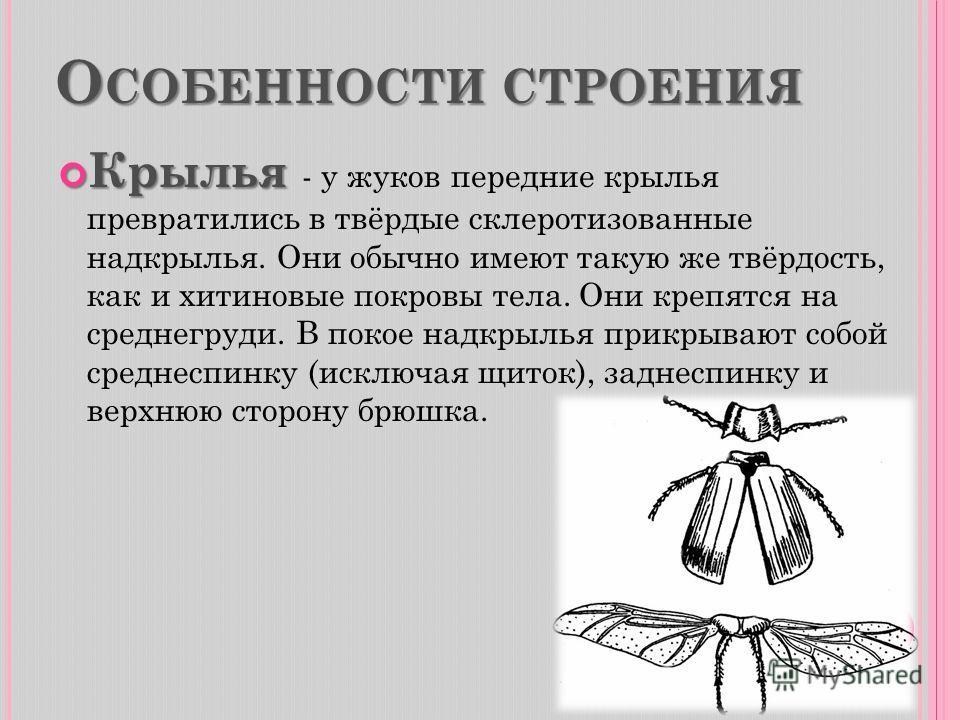О СОБЕННОСТИ СТРОЕНИЯ Крылья Крылья - у жуков передние крылья превратились в твёрдые склеротизованные надкрылья. Они обычно имеют такую же твёрдость, как и хитиновые покровы тела. Они крепятся на среднегруди. В покое надкрылья прикрывают собой средне