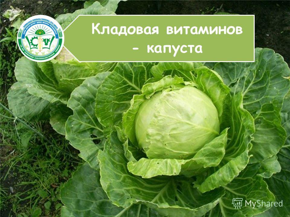 Кладовая витаминов - капуста