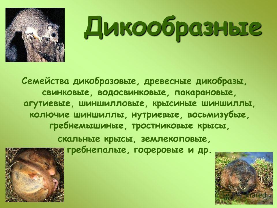 Дикообразные Семейства дикобразовые, древесные дикобразы, свинковые, водосвинковые, пакарановые, агутиевые, шиншилловые, крысиные шиншиллы, колючие шиншиллы, нутриевые, восьмизубые, гребнемышиные, тростниковые крысы, скальные крысы, землекоповые, гре
