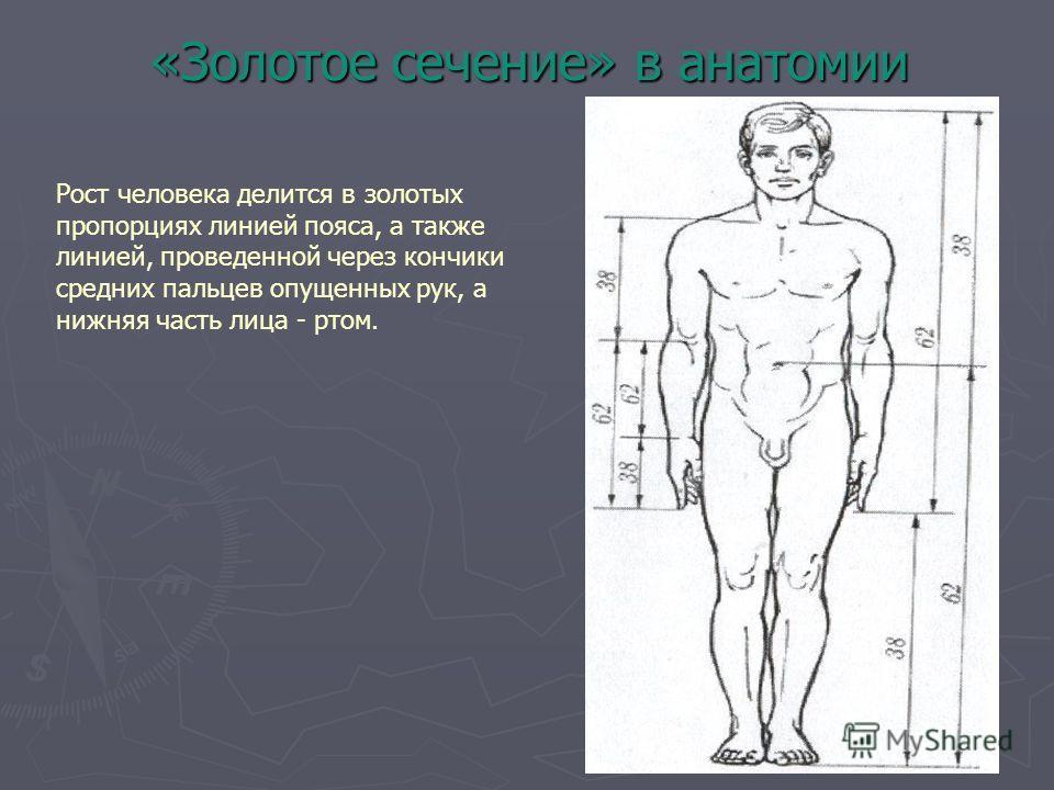 «Золотое сечение» в анатомии Рост человека делится в золотых пропорциях линией пояса, а также линией, проведенной через кончики средних пальцев опущенных рук, а нижняя часть лица - ртом.