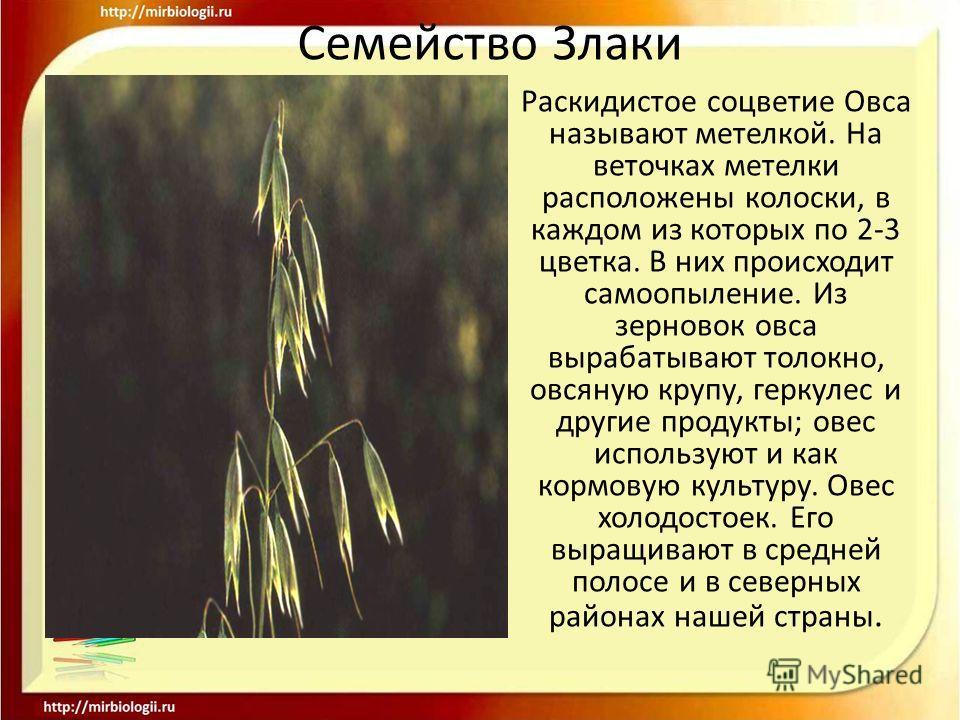 Семейство Злаки Раскидистое соцветие Овса называют метелкой. На веточках метелки расположены колоски, в каждом из которых по 2-3 цветка. В них происходит самоопыление. Из зерновок овса вырабатывают толокно, овсяную крупу, геркулес и другие продукты;