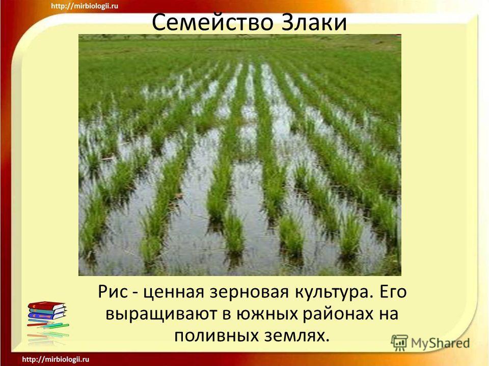 Семейство Злаки Рис - ценная зерновая культура. Его выращивают в южных районах на поливных землях.