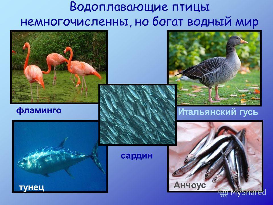 Водоплавающие птицы немногочисленны, но богат водный мир фламинго Итальянский гусь сардин тунец Анчоус