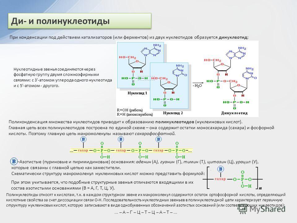 Ди- и полинуклеотиды При конденсации под действием катализаторов (или ферментов) из двух нуклеотидов образуется динуклеотид: Нуклеотидные звенья соединяются через фосфатную группу двумя сложноэфирными связями: с 3'-атомом углерода одного нуклеотида и