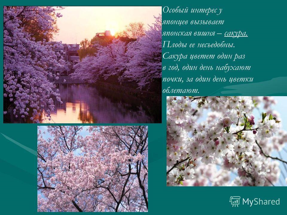 Особый интерес у японцев вызывает японская вишня – сакура. Плоды ее несъедобны. Сакура цветет один раз в год, один день набухают почки, за один день цветки облетают.