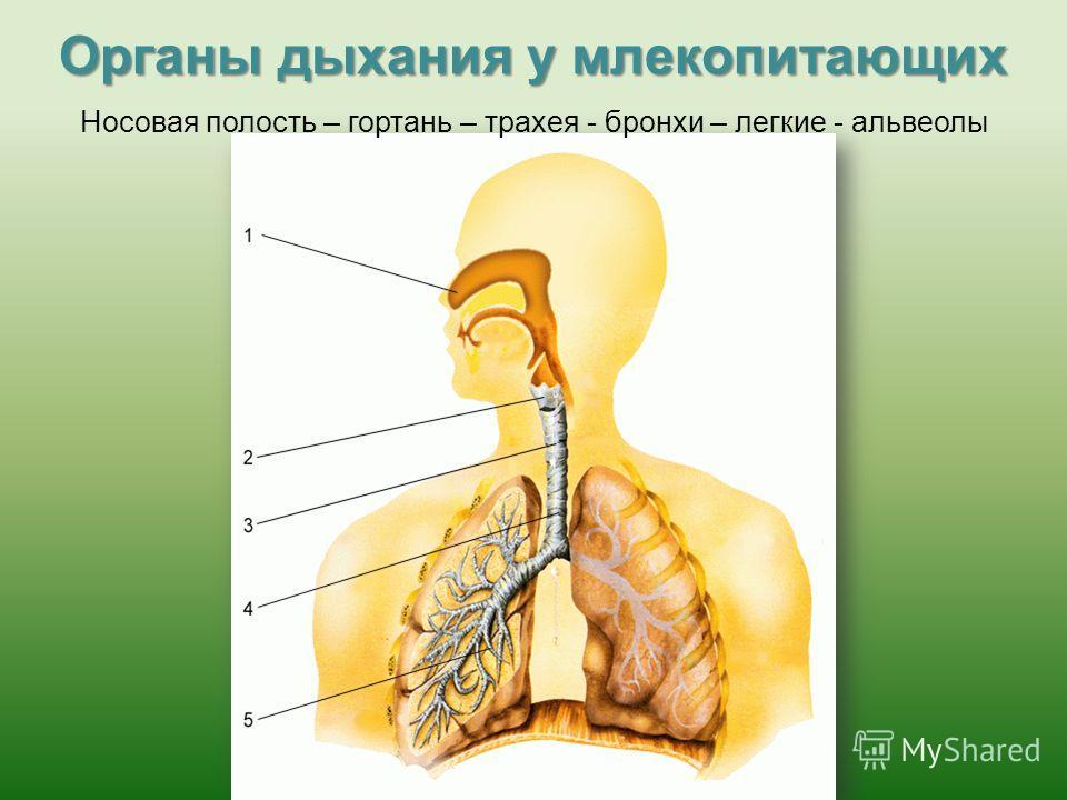 Органы дыхания у млекопитающих Носовая полость – гортань – трахея - бронхи – легкие - альвеолы