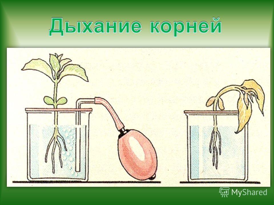 Опыты с растениями в домашних условиях