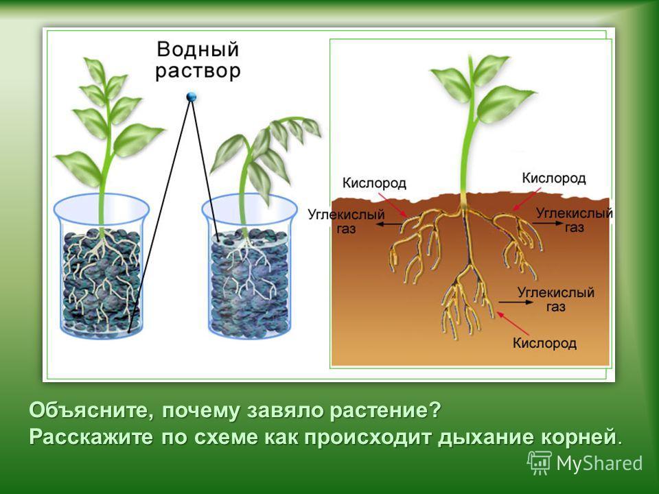 Объясните, почему завяло растение? Расскажите по схеме как происходит дыхание корней.