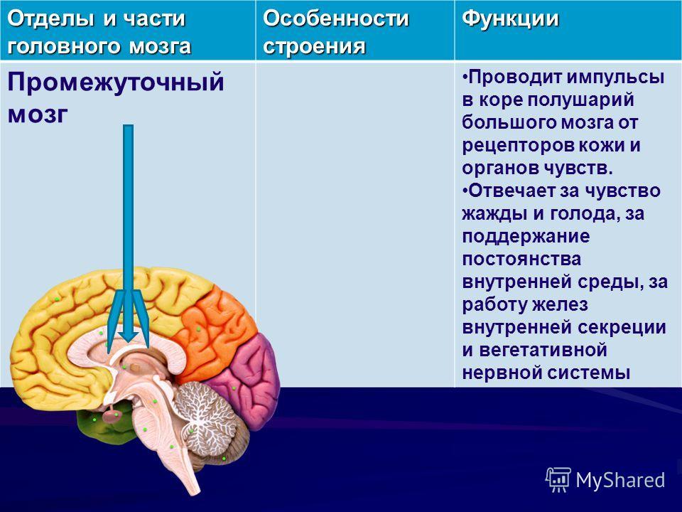 Отделы и части головного мозга Особенности строения Функции Промежуточный мозг Проводит импульсы в коре полушарий большого мозга от рецепторов кожи и органов чувств. Отвечает за чувство жажды и голода, за поддержание постоянства внутренней среды, за