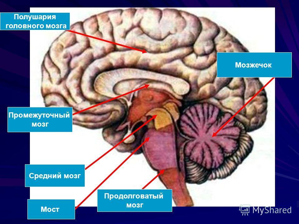 Полушария головного мозга Промежуточный мозг Средний мозг Мост Продолговатый мозг Мозжечок