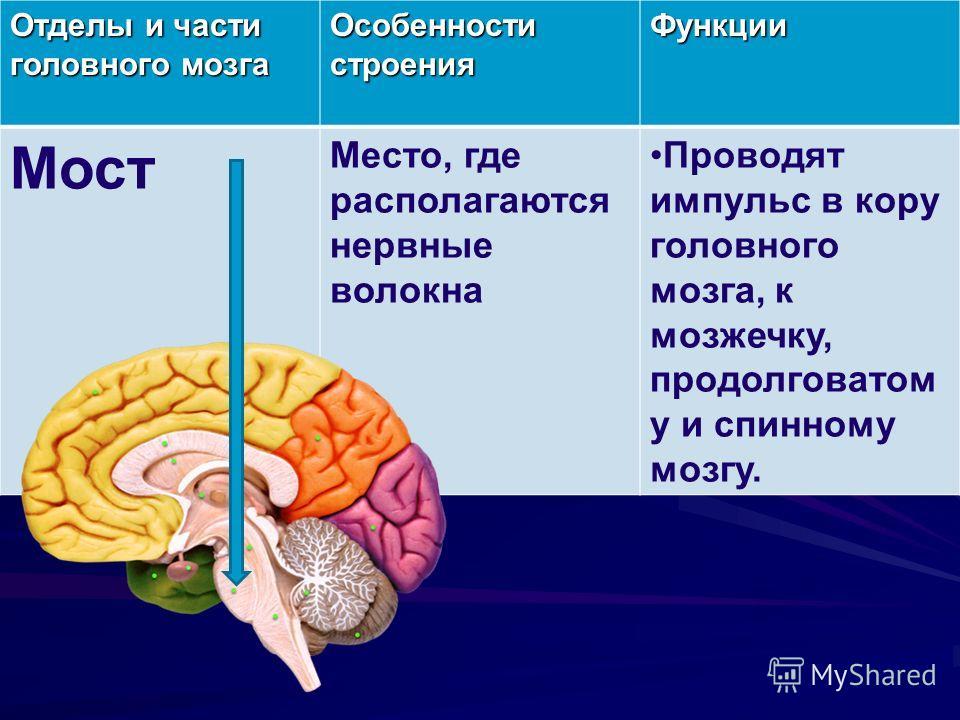 Отделы и части головного мозга Особенности строения Функции Мост Место, где располагаются нервные волокна Проводят импульс в кору головного мозга, к мозжечку, продолговатом у и спинному мозгу.