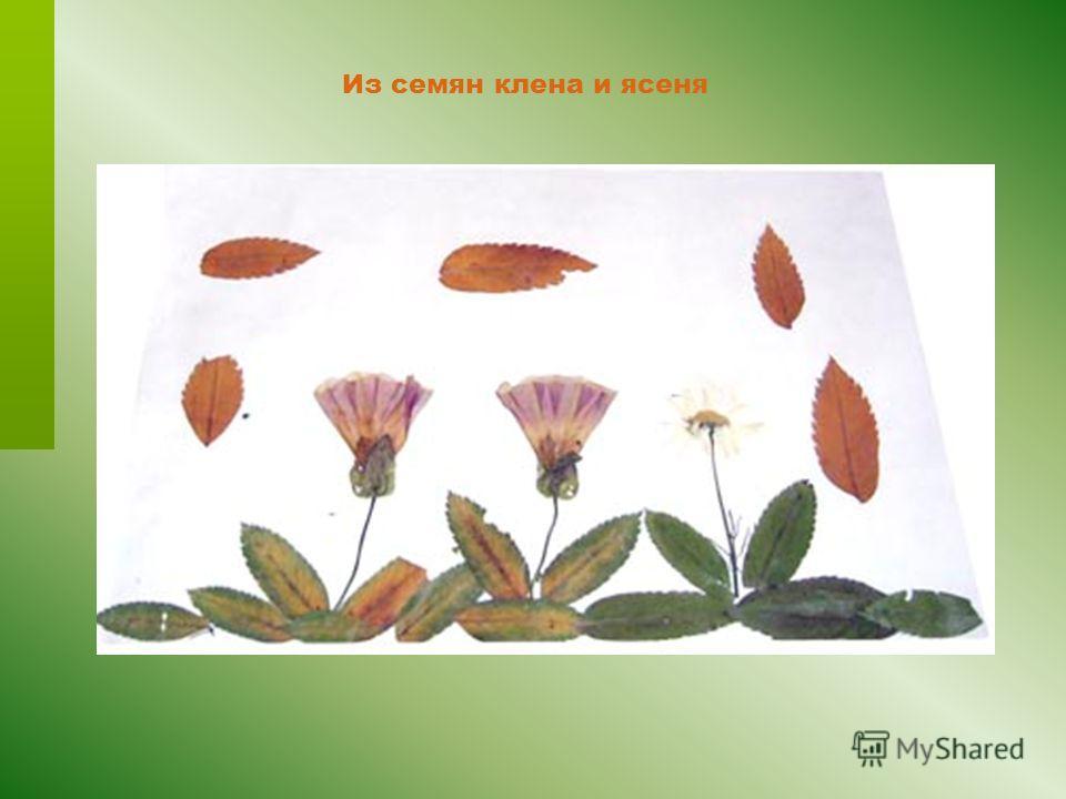 Из семян клена и ясеня